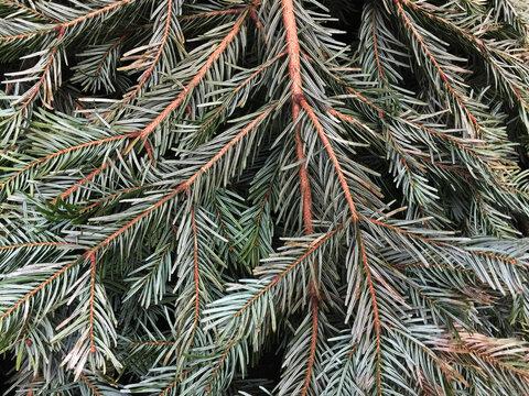 needles of pine tree