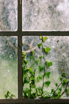 Ivy against an old window