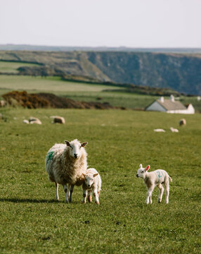Ewes and their newborn lambs grazing on the west coast of Wales.