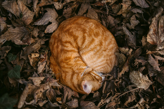 Lonely ginger cat sleeping curled up on dry leaves in garden