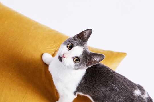 Grey & White Kitten