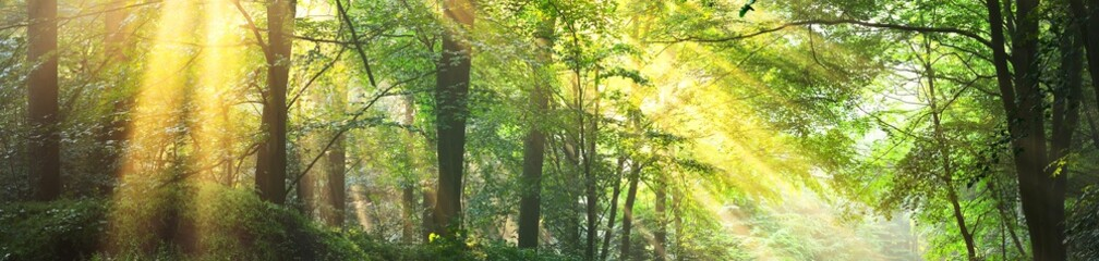 Panoramic view of the majestic green deciduous forest in a morning fog. Ancient tree silhouettes close-up. Atmospheric dreamlike summer landscape. Sun rays. Nature, ecology, fantasy, fairytale