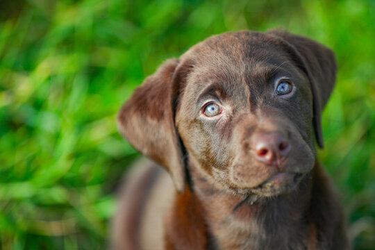 Junger brauner Labrador Welpe schaut nach oben