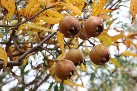 Close up of a fruit of Mespilus germanica, also named common medlar on a tree