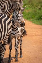 Fototapeta Herd of plains zebra, equus quagga, equus burchellii, common zebra with a foal standing on the road, Lake Mburo National Park, Uganda.