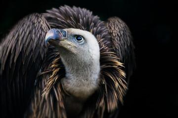 Closeup of a Griffon vulture, a bird of prey Wall mural
