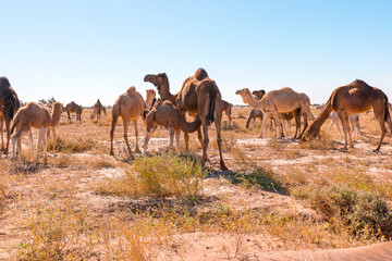 Herd of camels in El Gouera, at the gates of the Sahara. Morocco. Concept of wildlife