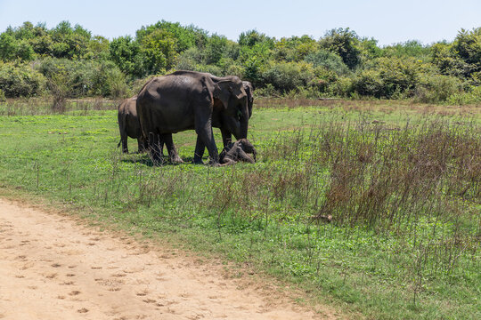 Close up of elephant family with a newborn baby elephant in a National Park of Sri Lanka