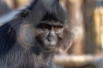 Portrait of a Black Mangabey, Lophocebus aterrimus, is a large agile monkey