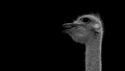 ostrich with Black Background