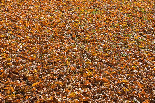 fallen leaves background in autumn