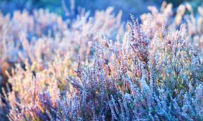 Forest floor of blooming pink heather flowers (plant) in rime at sunrise, close-up. Abstract natural botanical floral pattern, texture, background. Panoramic image, macro photography