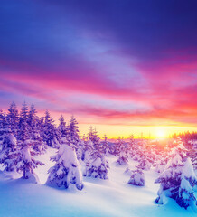 Wall Mural - Perfect evening winter landscape with spruce trees.