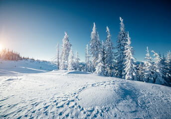 Wall Mural - Sunny frosty day in snowy coniferous forest. Christmas holiday concept.