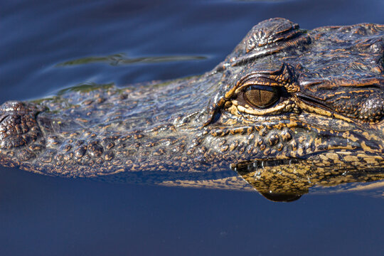 Crocodile lurking in Florida swamp