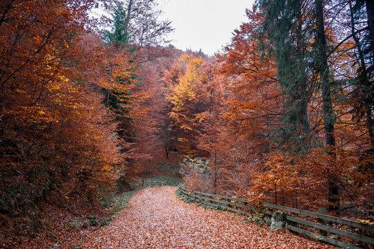 Alley through colorful forest in autumn season in Poiana Brasov, Romania