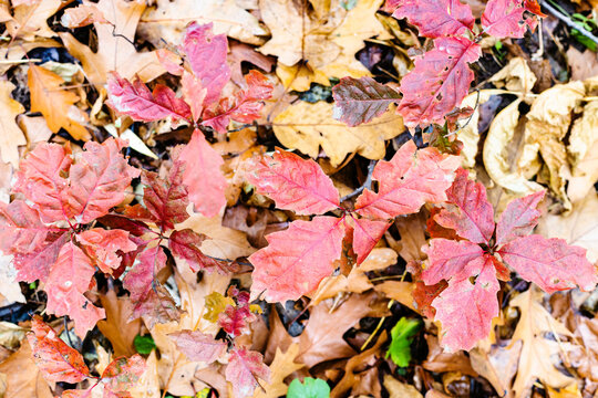 natural background - top view of wild oak sprouts with red leaves over brown fallen leaves on meadow in forest on autumn day