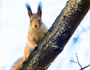 Red squirrel in an autumn park looks into the camera.