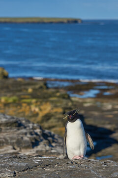 Rockhopper Penguin (Eudyptes chrysocome) on the cliffs of Bleaker Island in the Falkland Islands