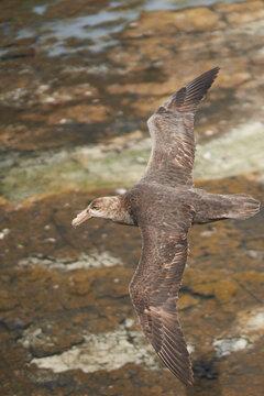 Southern Giant Petrel (Macronectes giganteus) flying along the coast of Bleaker Island in the Falkland Islands.