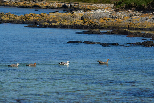 Group of Upland Geese (Chloephaga picta leucoptera) swimming in the sea on the coast of Carcass Island in the Falkland Islands.