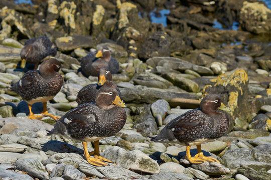 Group of Falkland Steamer Ducks (Tachyeres brachypterus) on a rocky beach on Carcass Island in the Falkland Islands.