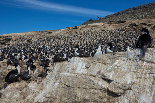Large breeding colony of Imperial Shag (Phalacrocorax atriceps albiventer) on the coast of Carcass Island in the Falkland Islands.