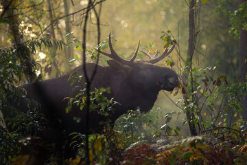 Obraz młody samiec łosia w naturalnym otoczeniu - fototapety do salonu