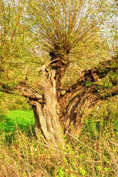 Geborstene Kopfweide im Naturschutzgebiet Siegaue bei Bonn