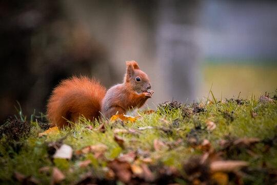 Eichhörnchen im Gras, Wiener Zentralfriedhof, Wien, Österreich