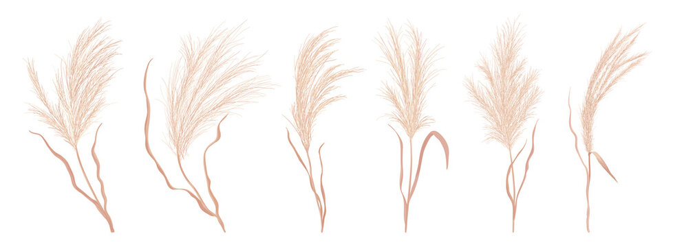 Dry pampas grass vector set. Watercolor field autumn design elements. Boho fall illustration of dried plant