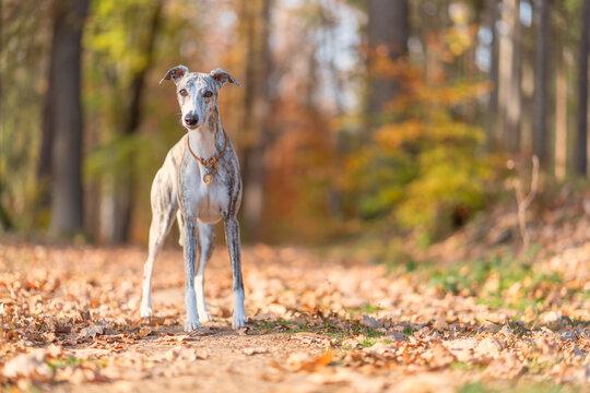 Windhund - Portrait einer hübschen Whippet Hündin im herbstlichen Wald
