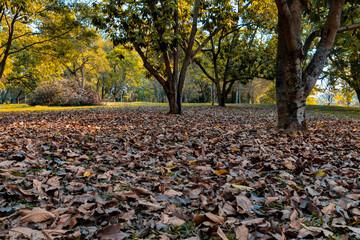 Paisagem de um parque da cidade de São Paulo com muitas folhas cobrindo o chão , árvores e sol ao fundo.