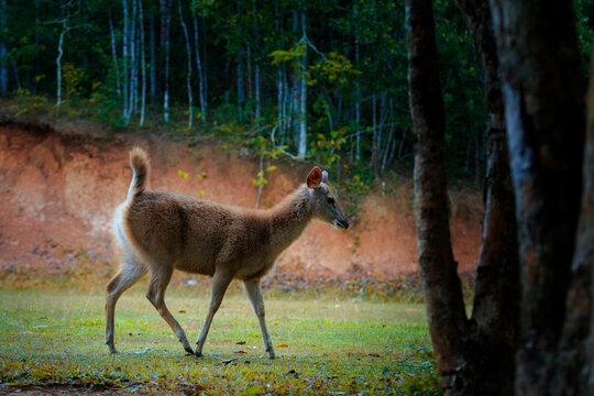 young sambar deer in khao yai national park thailand