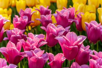 Tulip season. Harvest Mix tulips flowers.