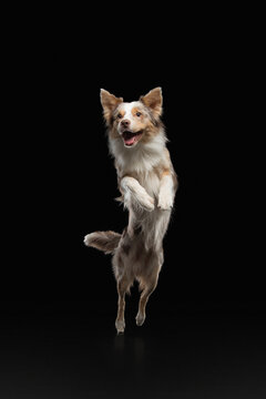 crazy Dog jumping . Pet in the studio on a black background. Active Border Collie