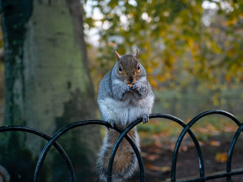 Brown squirrel on a fence eating nuts looking to the camera in St. James park in London