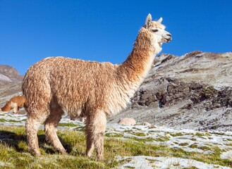 llama or lama on pastureland