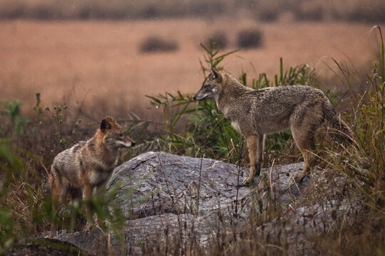 vigorous male and female jackal in the wild of india, in the fields among the wet grass Kanha National Park