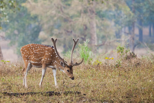 horned touching spotted deer grazes on a lawn in front of a blue-green forest, Kancha. India