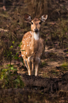 beautiful female deer is looking straight. Kana Park, India. A touching animal with big ears and black eyes carefully and anxiously looks in full view.