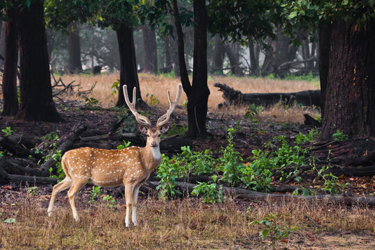Beautiful big horned deer Axis Kanha, India. on  background of grass.