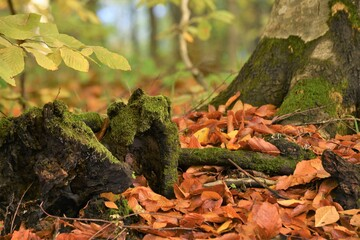 Mossy tree stumps and yellowed leaves in the autumn season