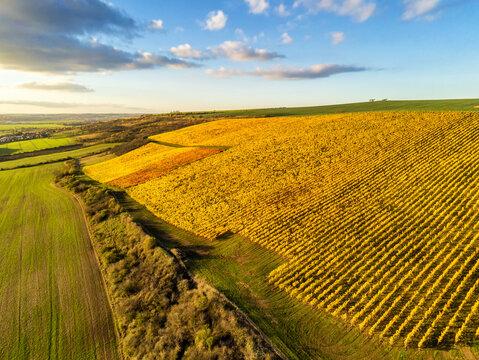 In herbstlichen Laub gefärbter Weinberg strahlt golden in der Abendsonne