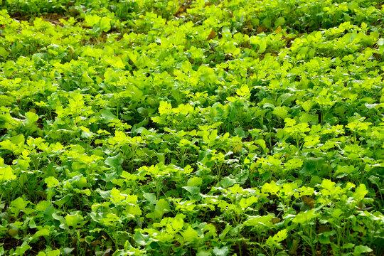 Oil radish, green manure n autumn