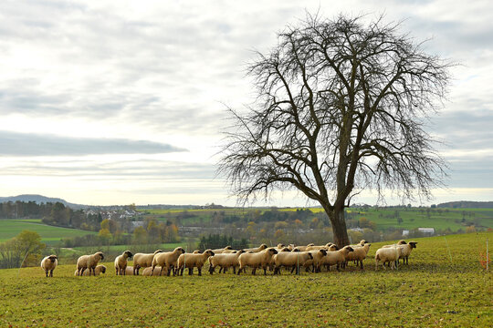 sheeps on a pasture in autumn