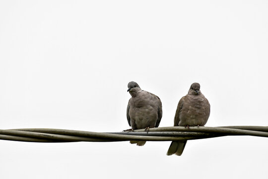 pair of doves, digital photo picture as a background