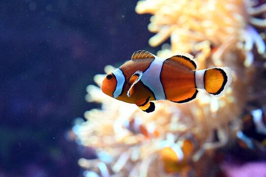 水中を泳ぐ可愛いカクレクマノミのアップ写真