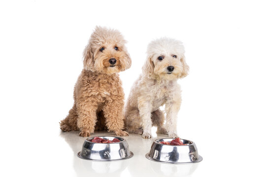 Obedient healthy dogs posing with barf raw meat, fish, vegetable, eggs, ingredient diet on white background