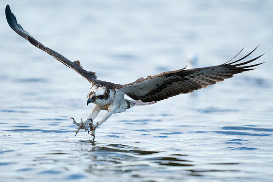 Osprey bird on its way to catch fish in a lake